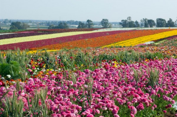 Cultivated-flowers-Israel