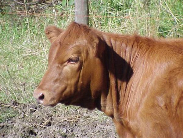 Red Angus-Heifer