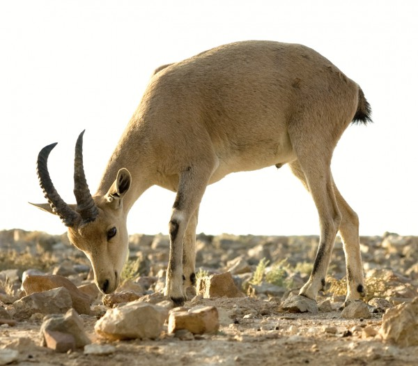 Nubian Ibex-Goat