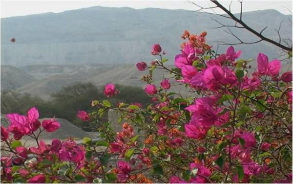 Pink-Flowers-Ariel-Israel