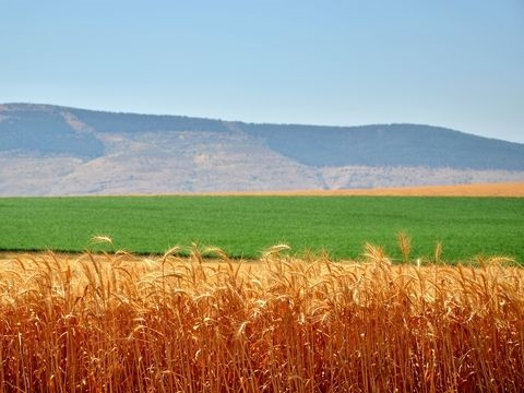 Israel-Jezreel-Wheat-Shavuot