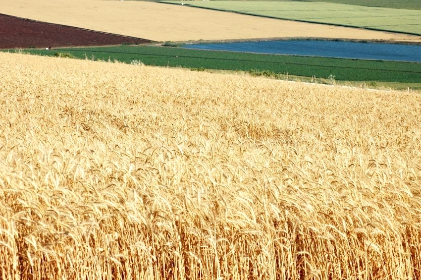 Wheat field in Israel