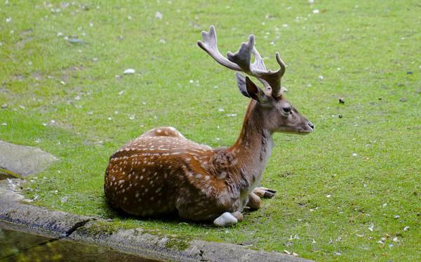 Gamo persa-Dama mesopotamica-Tierpark Hellabrunn-Munich-Alemania