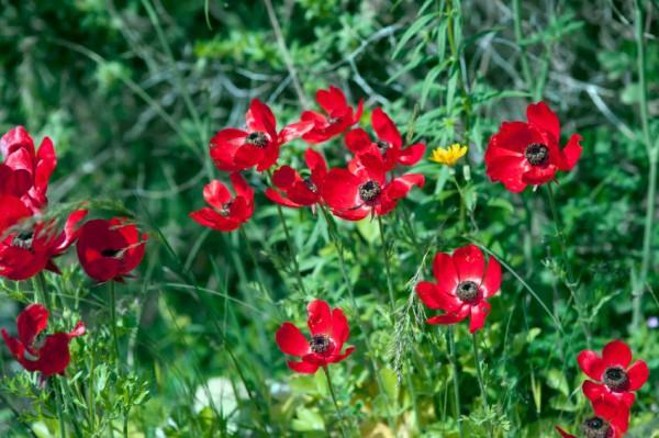 Wild Anemone flowers-The desert blossoms