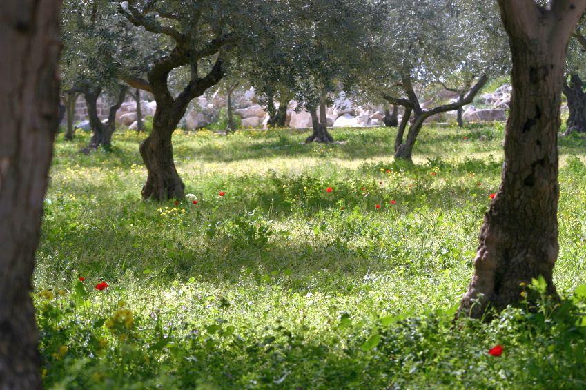 Olive trees-Garden-Gethsemane