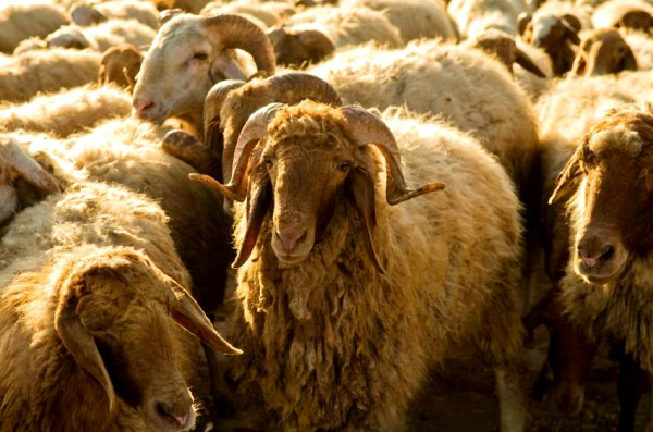Flock-sheep-Israel
