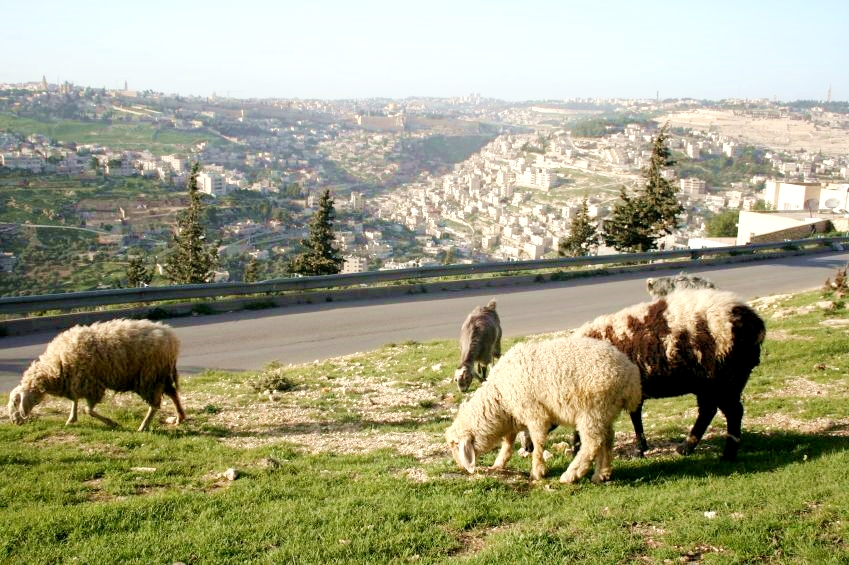 Sheep-grazing-Jerusalem