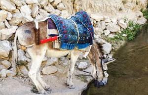 donkey-Israel