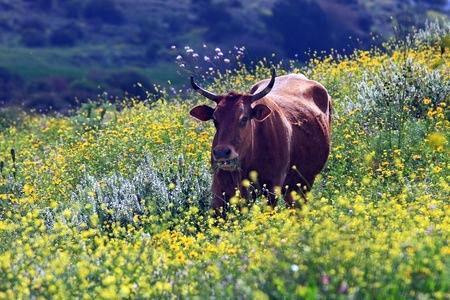 Israeli-free-range-cow