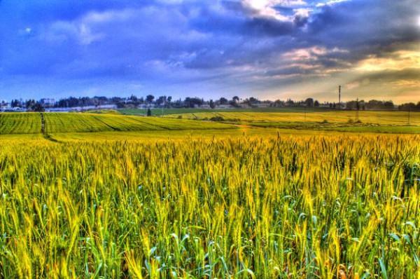 barley-Israel