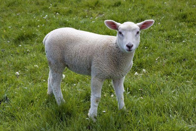 Lamb-Spotless