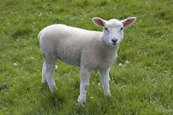 lamb-white-green-grass