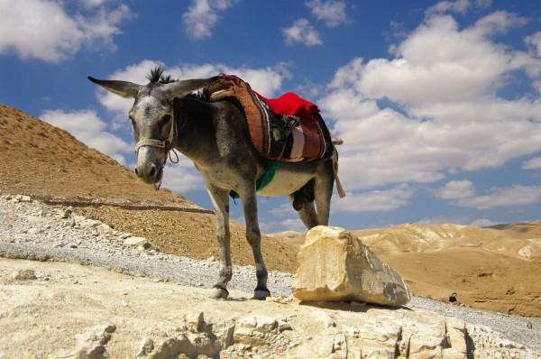 Judean-Desert-donkey