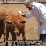 red heifer breeding program,