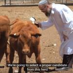 red heifer breeding program,