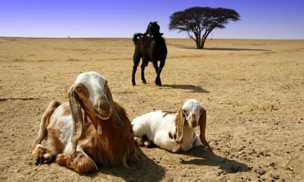 Israeli goats