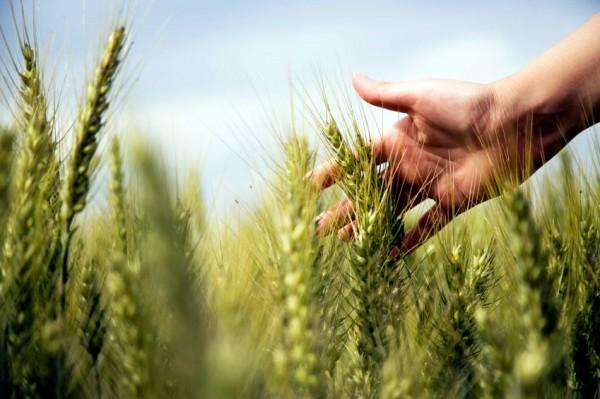 harvest-Shemitah-Shmittah