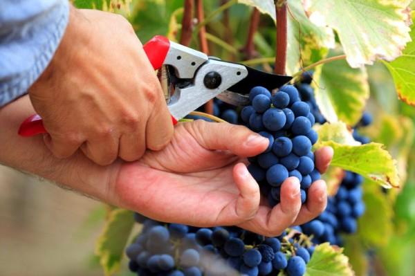 vines-grapes-Israel
