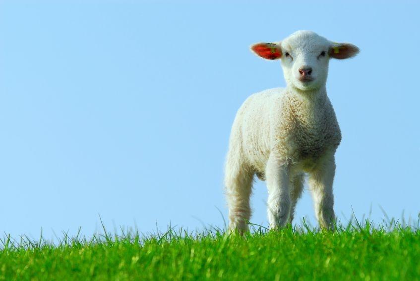 A pure, spotless lamb.