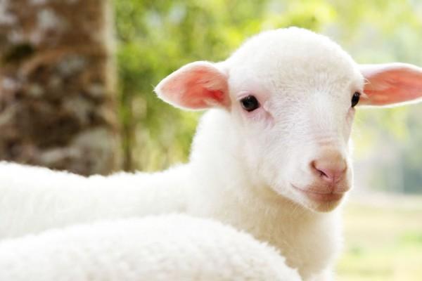Spring Lamb-Sheep