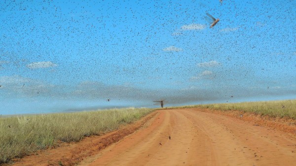 May 2014 swarm of locusts in Madagascar