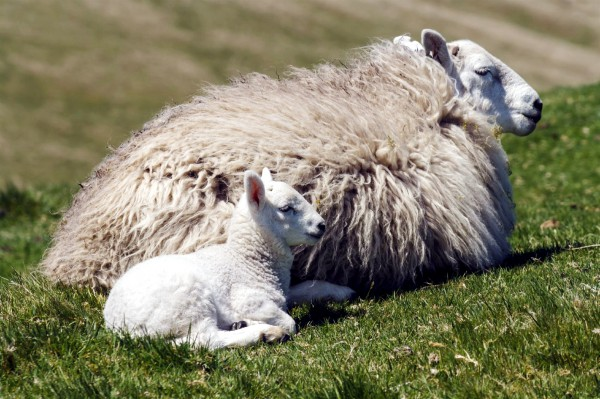 Ewe with a newborn lamb