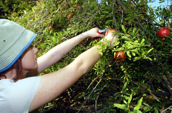 Harvesting pomegranates in Israel