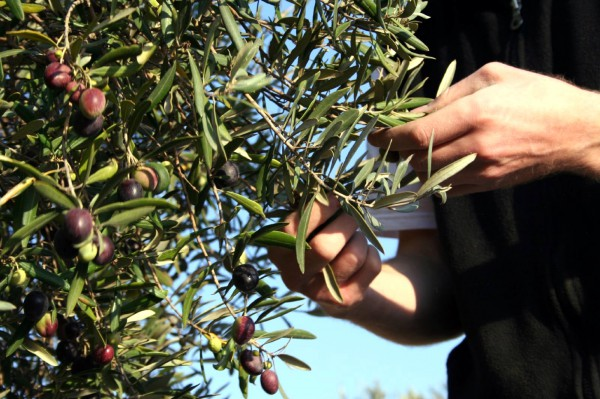 Harvesting olives on the Mount of Olives (Photo by Jill Granberg)
