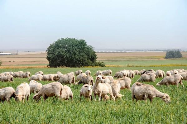 A flock of sheep graze in Israel.