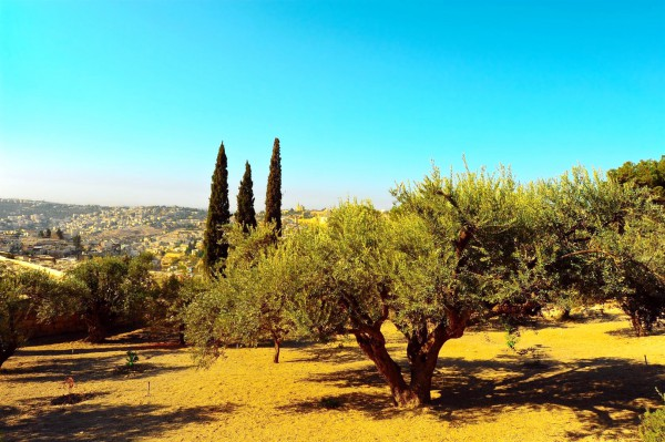 Olive tree in Jerusalem