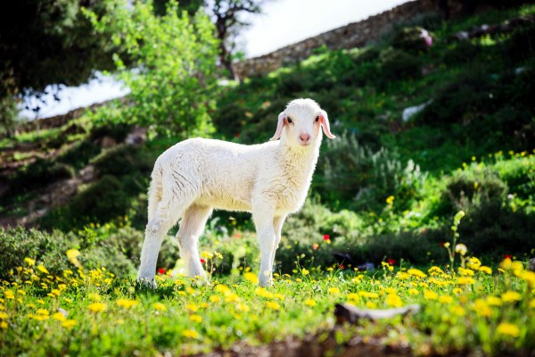 Lamb, Jerusalem, sheep