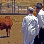 red heifer, parah adumah, Kohen, Temple