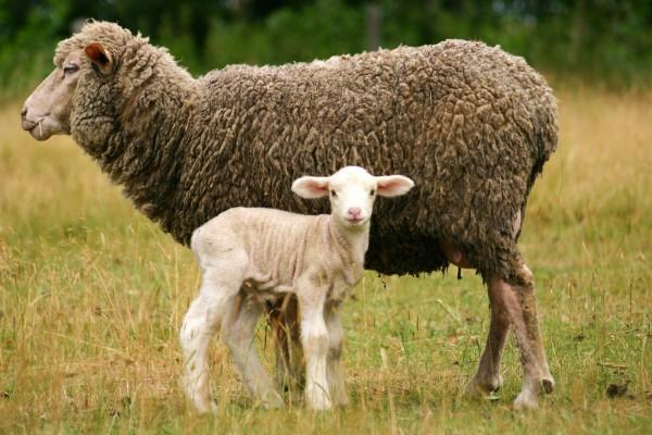 lamb-ewe-sheep