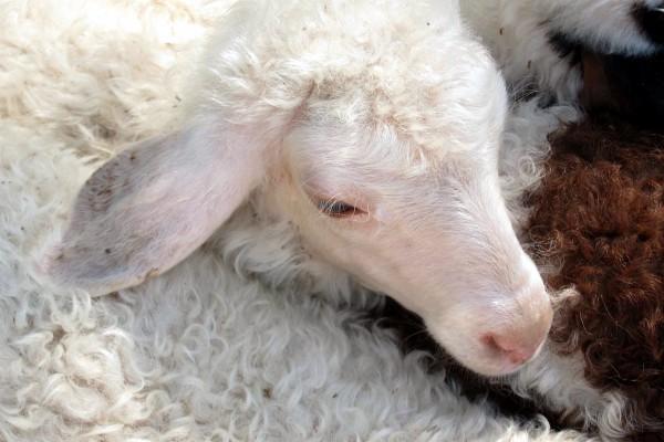 sheep-Israel-Shepherd