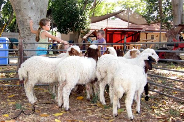 sheep-shepherd-Israel