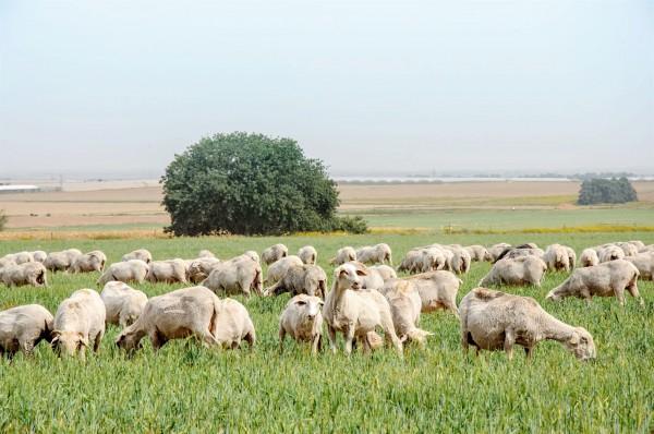 sheep-pasture-Israel