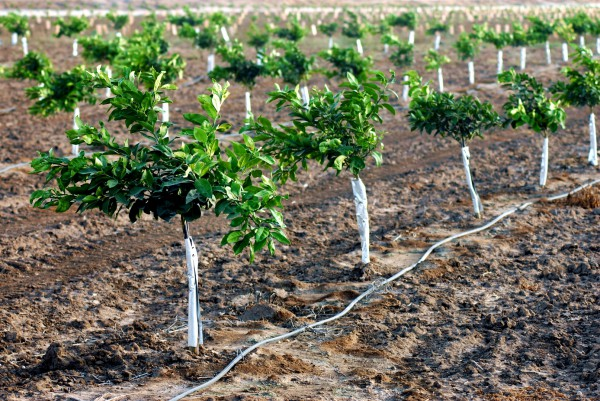 Drip irrigation lines water young orange trees.