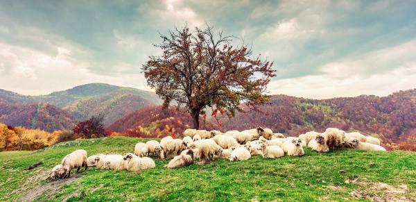 sheep grazing, beautiful hill,