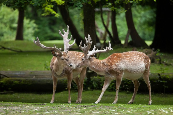 It is estimated that there are only 365 Persian fallow deer in the world.
