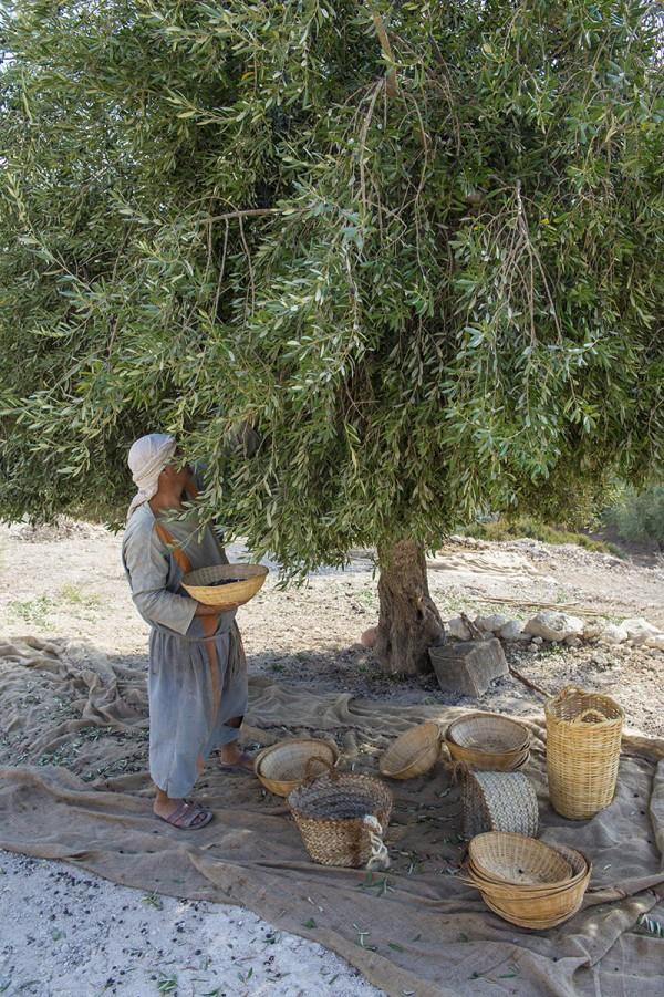 Harvesting olives, Nazareth village, Nazareth Israel