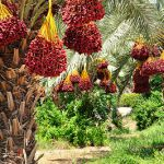 Date palms in northern Israel